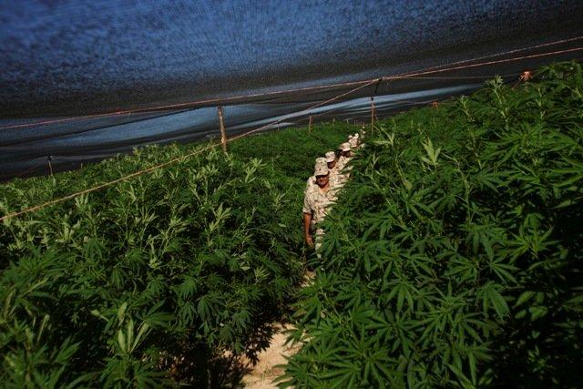 2011_07_marijuana-mexico.width-640.jpg