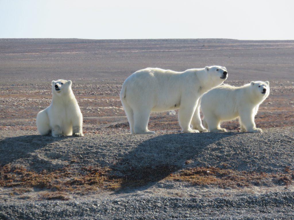 Cruise_Mother_polar_bear_and_cubs.original.jpg